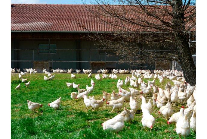 Pagalbinis darbuotojas (-a) vištų ūkyje