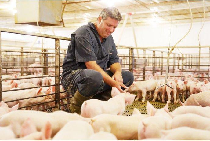 Darbas Švedijoje kiaulių fermoje