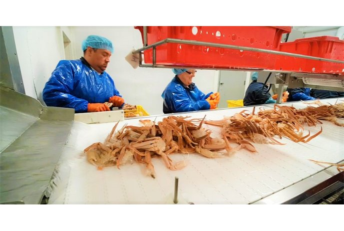 Darbas krabų fabrike Š. Norvegijoje